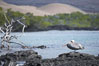 Brown pelican. North Seymour Island, Galapagos Islands, Ecuador. Image #16542