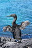 Flightless cormorant dries its stubby wings after emerging from the ocean.  In the absence of predators and thus not needing to fly, the flightless cormorants wings have degenerated to the point that it has lost the ability to fly, however it can swim superbly and is a capable underwater hunter.  Punta Albemarle. Isabella Island, Galapagos Islands, Ecuador. Image #16546