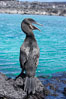 Flightless cormorant perched on volcanic coastline.  In the absence of predators and thus not needing to fly, the flightless cormorants wings have degenerated to the point that it has lost the ability to fly, however it can swim superbly and is a capable underwater hunter.  Punta Albemarle. Isabella Island, Galapagos Islands, Ecuador. Image #16547