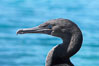 Flightless cormorant, head and neck profile.  In the absence of predators and thus not needing to fly, the flightless cormorants wings have degenerated to the point that it has lost the ability to fly, however it can swim superbly and is a capable underwater hunter.  Punta Albemarle. Isabella Island, Galapagos Islands, Ecuador. Image #16550