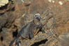 Marine iguana on volcanic rocks at the oceans edge, Punta Albemarle. Isabella Island, Galapagos Islands, Ecuador. Image #16572