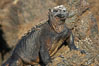 Marine iguana on volcanic rocks at the oceans edge, Punta Albemarle. Isabella Island, Galapagos Islands, Ecuador. Image #16573