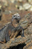 Marine iguana on volcanic rocks at the oceans edge, Punta Albemarle. Isabella Island, Galapagos Islands, Ecuador. Image #16574