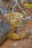 Galapagos land iguana. North Seymour Island, Galapagos Islands, Ecuador. Image #16577