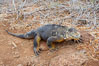 Galapagos land iguana. North Seymour Island, Galapagos Islands, Ecuador. Image #16578