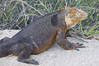 Galapagos land iguana. North Seymour Island, Galapagos Islands, Ecuador. Image #16580