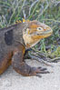 Galapagos land iguana. North Seymour Island, Galapagos Islands, Ecuador. Image #16581