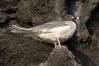 Swallow-tailed gull. Wolf Island, Galapagos Islands, Ecuador. Image #16593