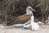 Blue-footed booby adult and chick. North Seymour Island, Galapagos Islands, Ecuador. Image #16659