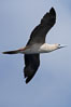 Red-footed booby in flight. Wolf Island, Galapagos Islands, Ecuador. Image #16683