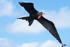Great frigatebird, adult male, in flight, green iridescence of scapular feathers identifying species.  Wolf Island. Wolf Island, Galapagos Islands, Ecuador. Image #16710