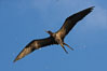 Great frigatebird, adult male, in flight,  green iridescence of scapular feathers identifying species.  Wolf Island. Wolf Island, Galapagos Islands, Ecuador. Image #16715