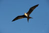 Great frigatebird, juvenile, in flight, rust-color neck identifies species.  Wolf Island. Wolf Island, Galapagos Islands, Ecuador. Image #16716