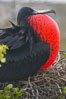 Magnificent frigatebird, adult male on nest, with throat pouch inflated, a courtship display to attract females. North Seymour Island, Galapagos Islands, Ecuador. Image #16725