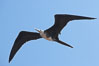 Magnificent frigatebird, juvenile, in flight.  North Seymour Island. North Seymour Island, Galapagos Islands, Ecuador. Image #16727