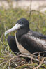 Magnificent frigatebird, adult female on nest. North Seymour Island, Galapagos Islands, Ecuador. Image #16732