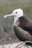 Magnificent frigatebird, juvenile on nest, blue eye ring identifies species. North Seymour Island, Galapagos Islands, Ecuador. Image #16733