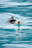 Sea otter. Resurrection Bay, Kenai Fjords National Park, Alaska, USA. Image #16939