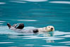 Sea otter. Resurrection Bay, Kenai Fjords National Park, Alaska, USA. Image #16941