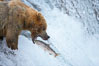 Alaskan brown bear catching a jumping salmon, Brooks Falls. Brooks River, Katmai National Park, Alaska, USA. Image #17031