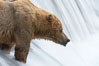 Brown bear waits for salmon at Brooks Falls. Blurring of the water is caused by a long shutter speed. Brooks River. Brooks River, Katmai National Park, Alaska, USA. Image #17047