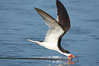 Black skimmer forages by flying over shallow water with its lower mandible dipping below the surface for small fish. San Diego Bay National Wildlife Refuge, California, USA. Image #17419