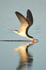 Black skimmer forages by flying over shallow water with its lower mandible dipping below the surface for small fish. San Diego Bay National Wildlife Refuge, California, USA. Image #17421