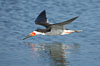 Black skimmer forages by flying over shallow water with its lower mandible dipping below the surface for small fish. San Diego Bay National Wildlife Refuge, California, USA. Image #17423