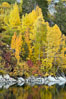 Aspen trees display Eastern Sierra fall colors, Lake Sabrina, Bishop Creek Canyon. Bishop Creek Canyon, Sierra Nevada Mountains, California, USA. Image #17497