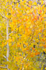 Aspen trees display Eastern Sierra fall colors, Lake Sabrina, Bishop Creek Canyon. Bishop Creek Canyon, Sierra Nevada Mountains, Bishop, California, USA. Image #17572
