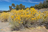 Rabbitbrush. White Mountains, Inyo National Forest, California, USA. Image #17604