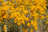 Rabbitbrush. White Mountains, Inyo National Forest, California, USA. Image #17605