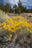 Rabbitbrush. White Mountains, Inyo National Forest, California, USA. Image #17607