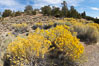 Rabbitbrush. White Mountains, Inyo National Forest, California, USA. Image #17608