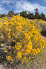 Rabbitbrush. White Mountains, Inyo National Forest, California, USA. Image #17609