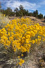 Rabbitbrush. White Mountains, Inyo National Forest, California, USA. Image #17610