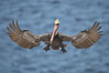 California brown pelican spreads its wings wide as it slows before landing on seacliffs. La Jolla, California, USA. Image #18228