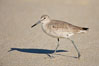 Willet walking on sand at low tide, sunrise. La Jolla, California, USA. Image #18271