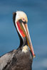 Brown pelican portrait showing distinctive winter mating plumage, bright red gular pouch and breeding plumage. La Jolla, California, USA. Image #18340