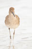 Willet on sand. La Jolla, California, USA. Image #18425