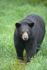 Black bear walking in a grassy meadow.  Black bears can live 25 years or more, and range in color from deepest black to chocolate and cinnamon brown.  Adult males typically weigh up to 600 pounds.  Adult females weight up to 400 pounds and reach sexual maturity at 3 or 4 years of age.  Adults stand about 3' tall at the shoulder. Orr, Minnesota, USA. Image #18741