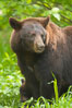 Black bear portrait.  American black bears range in color from deepest black to chocolate and cinnamon brown.  They prefer forested and meadow environments. This bear still has its thick, full winter coat, which will be shed soon with the approach of summer. Orr, Minnesota, USA. Image #18742