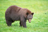 Black bear walking in a grassy meadow.  Black bears can live 25 years or more, and range in color from deepest black to chocolate and cinnamon brown.  Adult males typically weigh up to 600 pounds.  Adult females weight up to 400 pounds and reach sexual maturity at 3 or 4 years of age.  Adults stand about 3' tall at the shoulder. Orr, Minnesota, USA. Image #18743