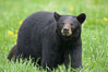Black bear walking in a grassy meadow.  Black bears can live 25 years or more, and range in color from deepest black to chocolate and cinnamon brown.  Adult males typically weigh up to 600 pounds.  Adult females weight up to 400 pounds and reach sexual maturity at 3 or 4 years of age.  Adults stand about 3' tall at the shoulder. Orr, Minnesota, USA. Image #18744