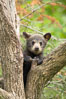 Black bear cub in a tree.  Mother bears will often send their cubs up into the safety of a tree if larger bears (who might seek to injure the cubs) are nearby.  Black bears have sharp claws and, in spite of their size, are expert tree climbers. Orr, Minnesota, USA. Image #18746
