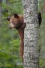 Black bear in a tree.  Black bears are expert tree climbers and will ascend trees if they sense danger or the approach of larger bears, to seek a place to rest, or to get a view of their surroundings. Orr, Minnesota, USA. Image #18747