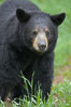 Black bear walking in a grassy meadow.  Black bears can live 25 years or more, and range in color from deepest black to chocolate and cinnamon brown.  Adult males typically weigh up to 600 pounds.  Adult females weight up to 400 pounds and reach sexual maturity at 3 or 4 years of age.  Adults stand about 3' tall at the shoulder. Orr, Minnesota, USA. Image #18748