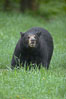 Black bear walking in a grassy meadow.  Black bears can live 25 years or more, and range in color from deepest black to chocolate and cinnamon brown.  Adult males typically weigh up to 600 pounds.  Adult females weight up to 400 pounds and reach sexual maturity at 3 or 4 years of age.  Adults stand about 3' tall at the shoulder. Orr, Minnesota, USA. Image #18749