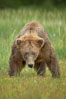 Full grown, mature male coastal brown bear boar (grizzly bear) in sedge grass meadows. Lake Clark National Park, Alaska, USA. Image #19134