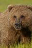 Portrait of a young brown bear, pausing while grazing in tall sedge grass.  Brown bears can consume 30 lbs of sedge grass daily, waiting weeks until spawning salmon fill the rivers. Lake Clark National Park, Alaska, USA. Image #19135